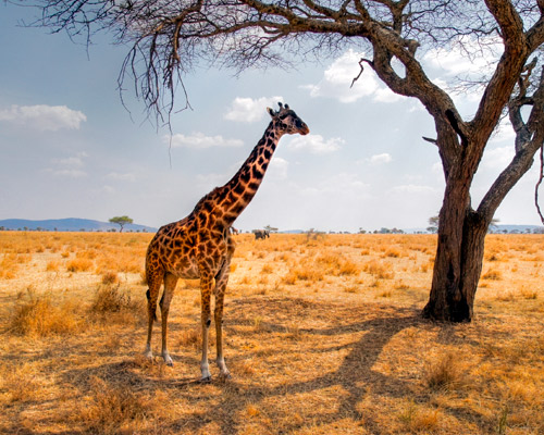 "Rundreise ""Safari Höhepunkte Kenias"" & Baden auf Mauritius"
