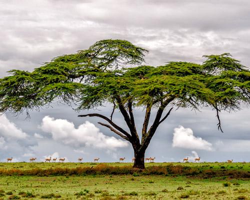 """Privatrundreise """"Grenzenloses Busch-Abenteuer Kenia"""" & Baden in Mombasa"""